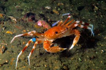 Deep-sea swimming crab (Bathynectes maravigna). Eastern Atlantic. Galicia. Spain