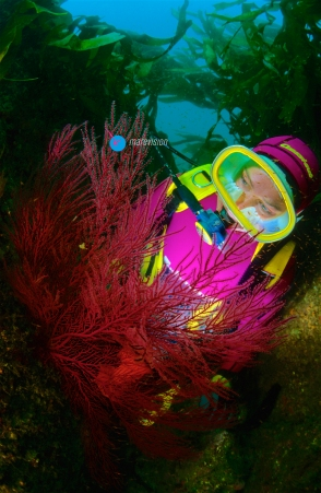 Diver and Sea Fans (Leptogorgia sarmentosa). Eastern Atlantic, Galicia, Spain