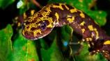 Freshwater Rivers. Marbled newt (Triturus marmoratus). Rio Oitaven. Galicia. Spain