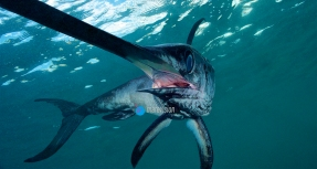 Swordfish (Xiphias gladius). Offshore. Pelagic. Eastern Atlantic. Galicia. Spain. Europe